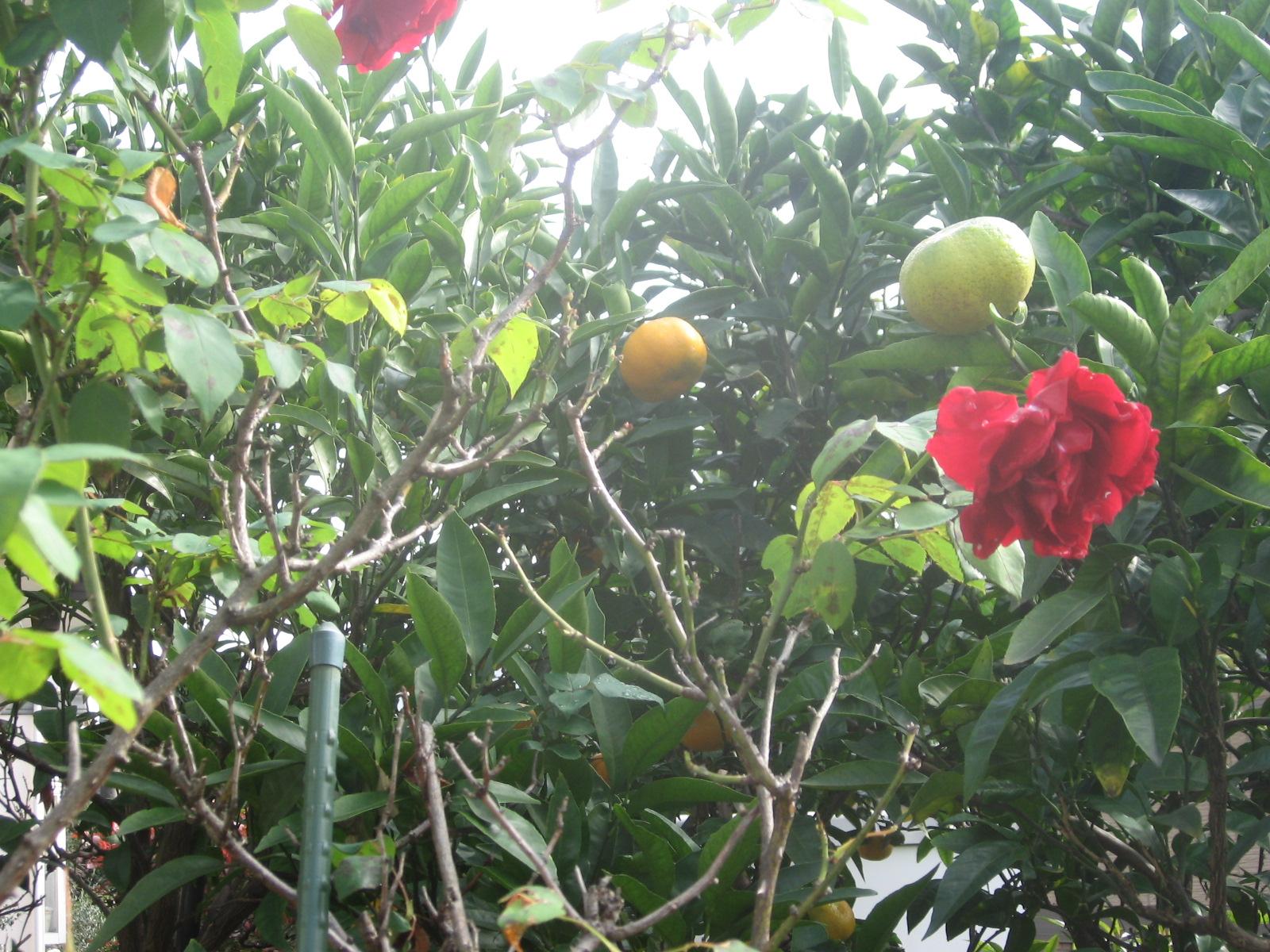 20111112-rose-mikan005.jpg